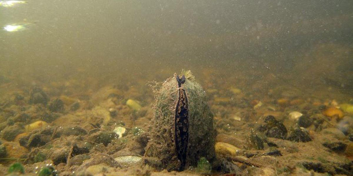 Grande mulette (Pseudunio auricularius, mollusque bivalve) : CR