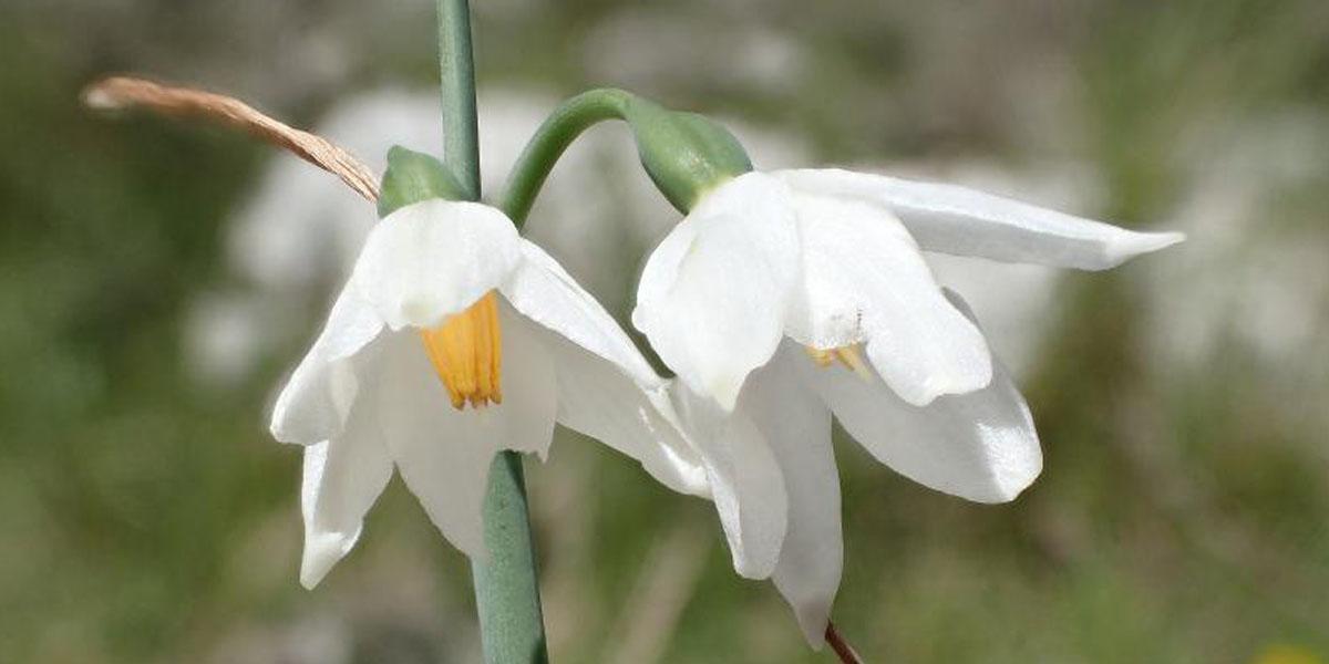 Nivéole de Nice (Acis nicaeensis, herbacée endémique de la Riviera française) EN