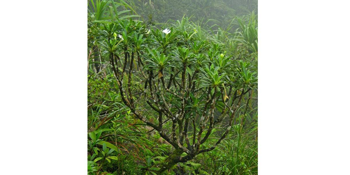 Tiare 'apetahi (Sclerotheca raiateensis, arbuste endémique de Polynésie française): CR
