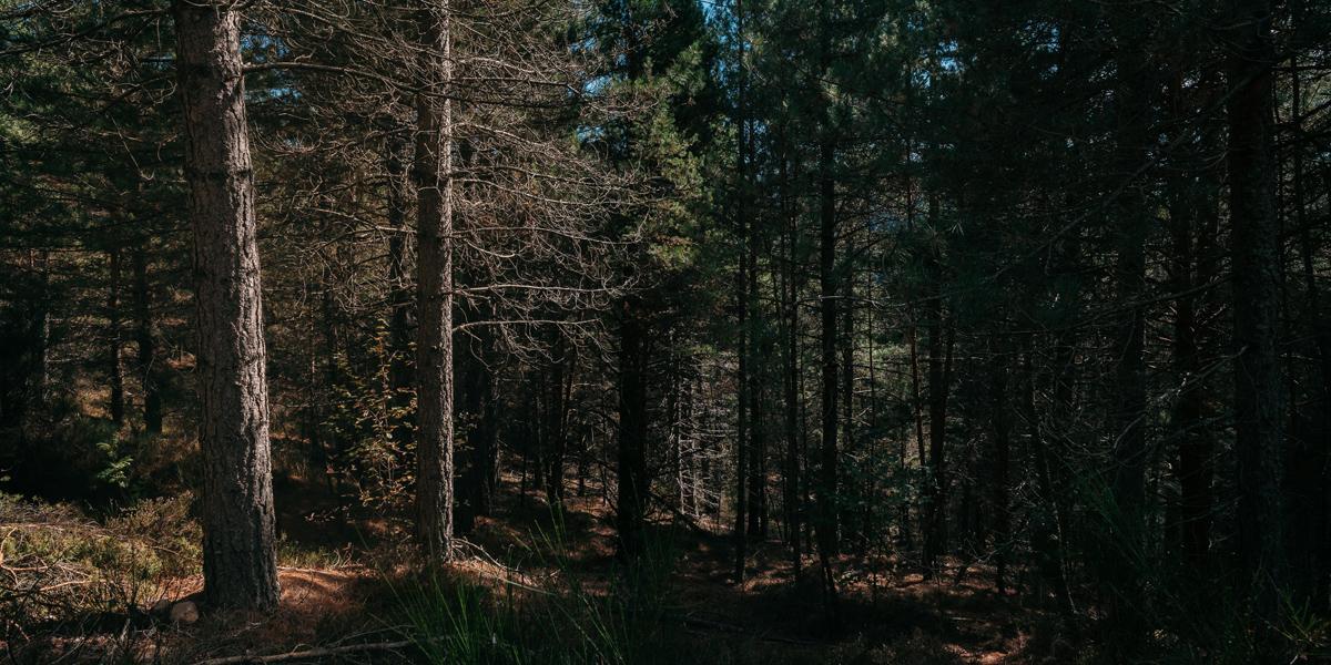 Conifères dans le Parc national des Cévennes