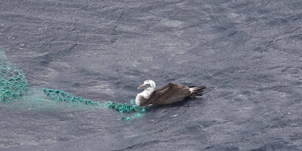 Fou de Bassan (Morus bassanus) pris au piège dans un filet (Golfe de Gascogne)