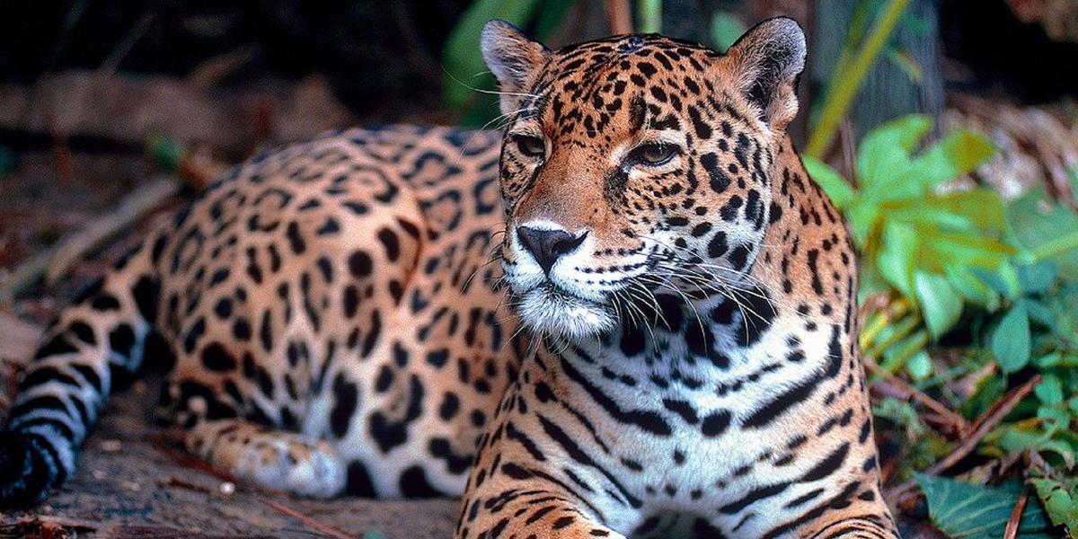 """Jaguar (Panthera onca)"""""""