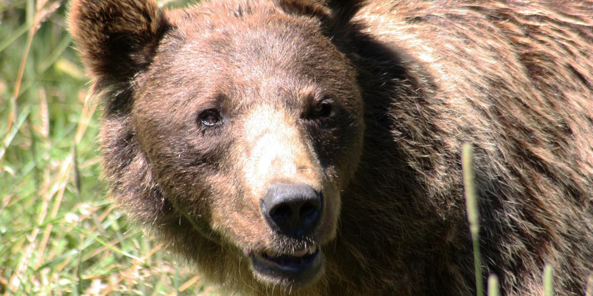 Ours brun d'Europe (Ursus arctos)